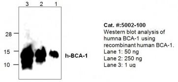 BCA-1 (BLC/CXCL13) Antibody