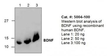 BDNF Antibody