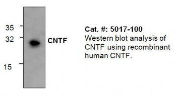 CNTF Antibody