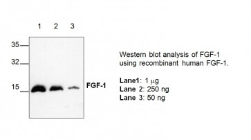 FGF-1 Antibody