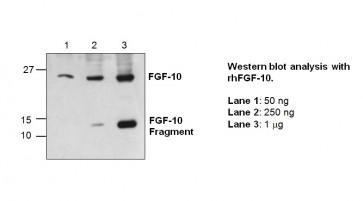 FGF-10 Antibody