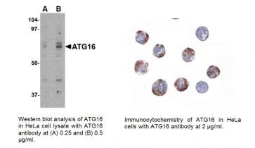 ATG16 Antibody (Center)