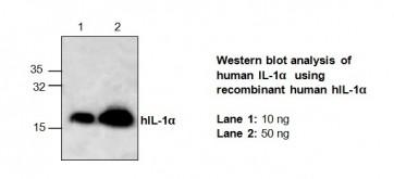 IL-1 alpha Antibody