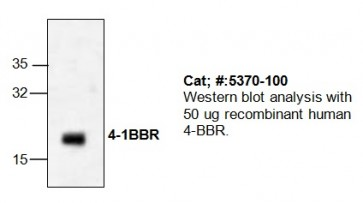 4-1BBR Antibody