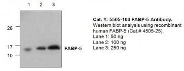 FABP5 Antibody