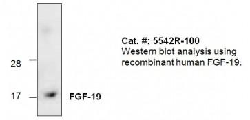 FGF-19 Antibody