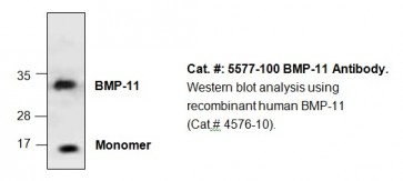 BMP-11 Antibody
