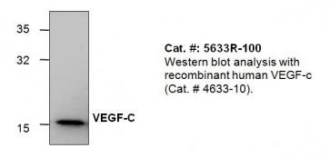 VEGF-C Antibody
