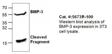 Anti-BMP-3 Antibody