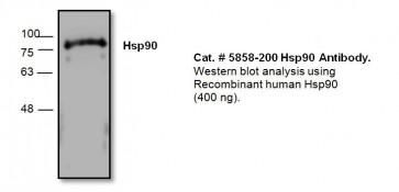 HSP90 Antibody