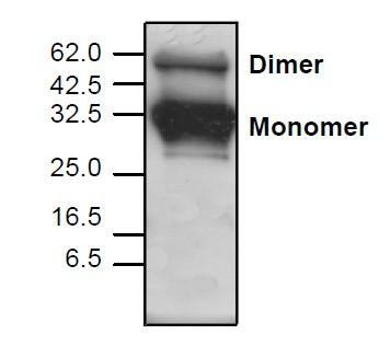 Adiponectin Antibody
