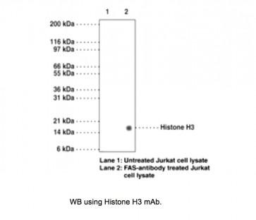Histone H3 (phospho-Ser28) (Clone 117C826) Antibody