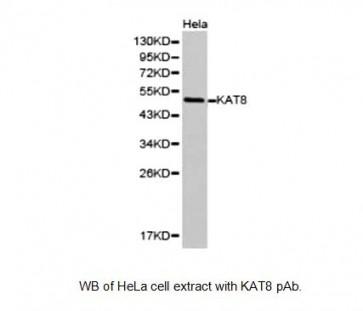 KAT8 Antibody
