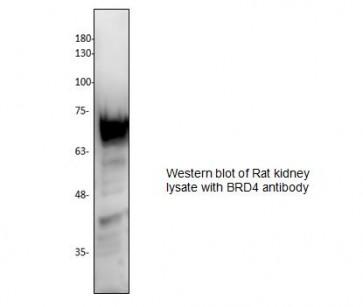 BRD4 Antibody