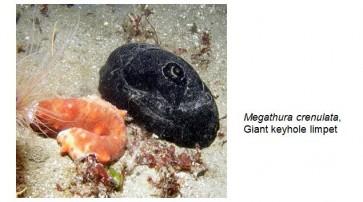 Hemocyanin-Keyhole Limpet (KLH), Native