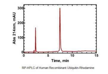 Ubiquitin-Rhodamine