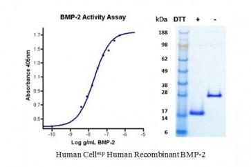 Human CellExp™ BMP-2, Human Recombinant