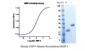Human CellExp™ BMP-4, Human Recombinant