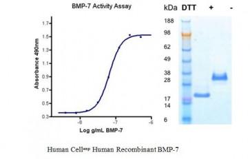 Human CellExp™ BMP-7, Human Recombinant