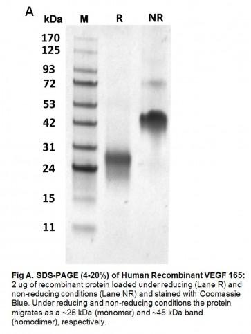 Human CellExp™ VEGF 165, Human Recombinant