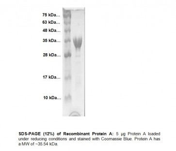 Protein A (Liquid form)