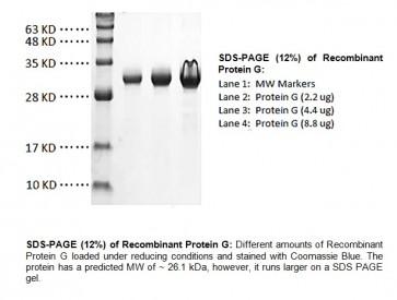 Protein G