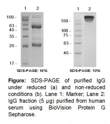 Protein G Sepharose