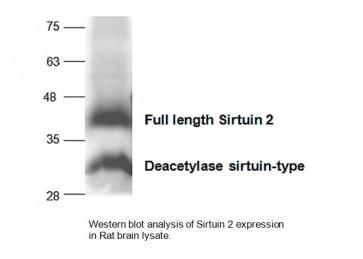 SIRT2 Antibody