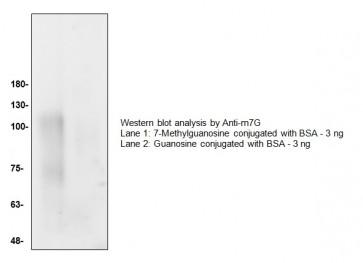 7-Methylguanosine Antibody