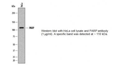 PARP Antibody (Clone 839120)
