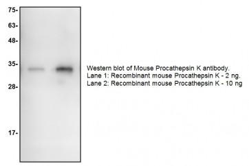 Procathepsin K Antibody