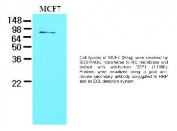 TDP1 Antibody (Clone AT1F2)