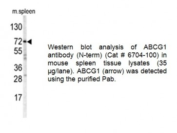 ABCG1 Antibody (NT)