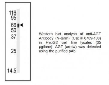 AGT Antibody (NT)