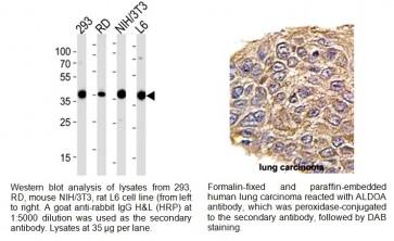 Aldolase A (ALDOA) Antibody (NT)