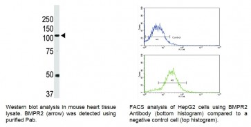 BMPR2 Antibody (NT)