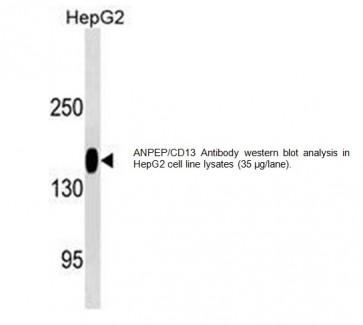 ANPEP/CD13 Antibody (Clone # 505CT12.1.2)