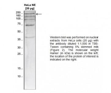TAF1 polyclonal antibody