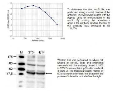 DNMT2 polyclonal antibody