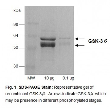 GSK-3β, human recombinant