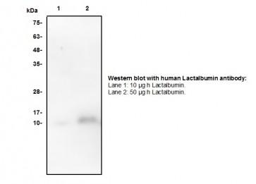 Lactalbumin Antibody