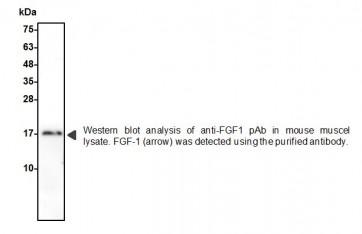 FGF-1 Polyclonal Antibody