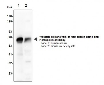 Hemopexin Polyclonal Antibody
