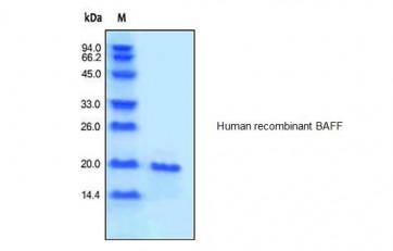 Human CellExp™ BAFF, human recombinant