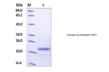 Human CellExp™ SHH, human recombinant