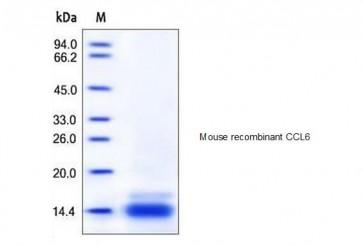 Human CellExp™ CCL6, mouse recombinant