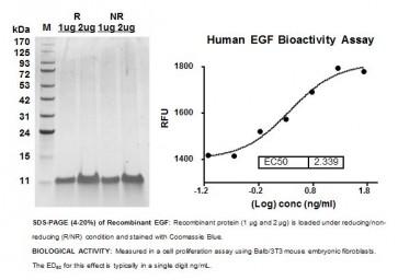 Human CellExp™ EGF, human recombinant