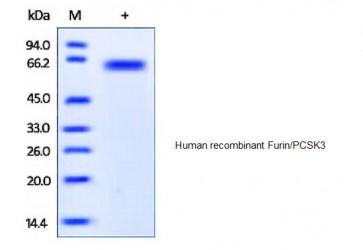 Human CellExp™ Furin, human recombinant