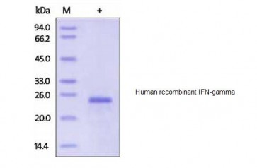 Human CellExp™ IFN-gamma, human recombinant
