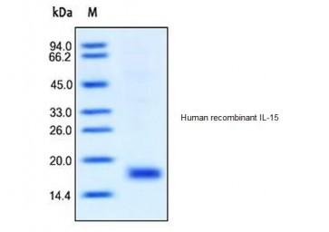 Human CellExp™ IL-15, human recombinant